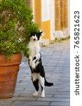 A Black White Bicolor Cat...