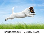 Stock photo white puppy jack russell terrier jumping in the grass on blue sky background 765827626