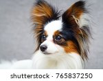 continental toy spaniel dog | Shutterstock . vector #765837250