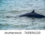 Small photo of Big Bryde's Whale, Eden's whales living in the gulf of Thailand