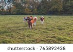 small group of young cows in... | Shutterstock . vector #765892438