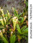 nepenthes  carnivorous plant...   Shutterstock . vector #765960124
