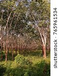 Small photo of para rubber tree plantation, weed infestation condition and yield harvest management.
