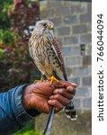 irish common kestrel perched on ...   Shutterstock . vector #766044094