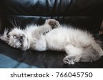 Persian Kitten Stretch On Black ...