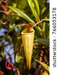 nepenthes  carnivorous plant...   Shutterstock . vector #766053178