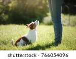 Stock photo girl to train a small dog people with a pet together funny and clever jack russell terrier 766054096