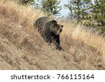 grizzly bear charging down a... | Shutterstock . vector #766115164
