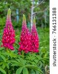 red lupins in a garden | Shutterstock . vector #766131388