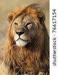Lion male looking into the horizon, Serengeti National Park, Tanzania - stock photo