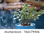 green jade succulent plant on... | Shutterstock . vector #766179406