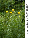 Small photo of Yellow flower of Bighead knapweed (Centaurea macrocephala) perennial garden