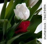 Tulip Flower In Studio Quality...