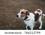 a hunting white dog with red... | Shutterstock . vector #766212799