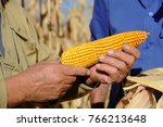 cob of maze closeup  a mature... | Shutterstock . vector #766213648