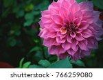 Beautiful Pink Dahlia Fresh...