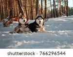 Small photo of Siberian huskys lying on snow in sunny winter forest. Redhead and black-and-white dogs look forward.