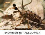 Small photo of Giant Batocera rufomaculata