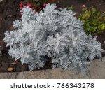 jacobaea maritima  formerly... | Shutterstock . vector #766343278