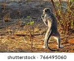 an alert young baboon standing... | Shutterstock . vector #766495060