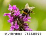 Bumblebee On Dark Pink...