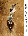 the famous blue footed booby in ... | Shutterstock . vector #766618078