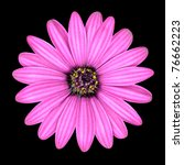 Violet Pink Osteospermum Daisy Flower Head  Isolated on Black Background. Macro Closeup - stock photo