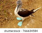 the famous blue footed booby in ... | Shutterstock . vector #766634584
