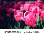 pink tulips on the flowerbed.... | Shutterstock . vector #766677508