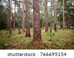 Neat Clean Pine Forest With...