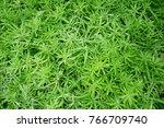 sedum spurium   crassulaceae   | Shutterstock . vector #766709740