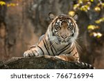 sumatran tiger sitting on the... | Shutterstock . vector #766716994