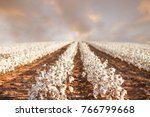 Beautiful Cotton Fields From...