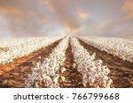 beautiful cotton fields from... | Shutterstock . vector #766799668