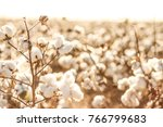 beautiful cotton fields from... | Shutterstock . vector #766799683