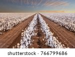 beautiful cotton fields from... | Shutterstock . vector #766799686