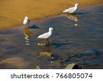 Small photo of Some beautiful seagulls seabirds of the family Laridae in sub-order Lari reflected in the puddle are enjoying a cool sip of water in the Leschenault Estuary Bunbury Western Australia in summer.