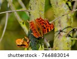 comma butterfly  polygonia c... | Shutterstock . vector #766883014
