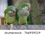 The monk parakeet  myiopsitta...