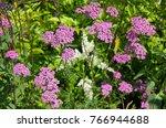 pink yarrow  lat. achillea  in... | Shutterstock . vector #766944688