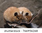 Small photo of The golden spiny mouse (Acomys russatus) counts within the order Rodentia, family of real mice