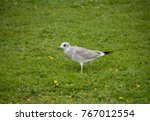 juvenile seagull at... | Shutterstock . vector #767012554
