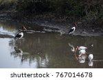 yellow billed storks fishing... | Shutterstock . vector #767014678