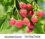 branch of ripe raspberries in a ... | Shutterstock . vector #767067436