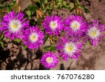 starburst ice plant  delosperma ...