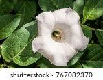 Jimson Weed  Datura Stramonium...