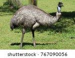 Closeup Of Wild Emu On South...