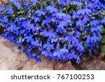 edging lobelia  lobelia erinus  ... | Shutterstock . vector #767100253