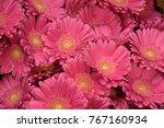 Pink Gerbera Daisy Flowers...