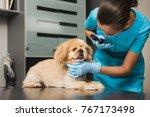 dog examination ear at vet...   Shutterstock . vector #767173498